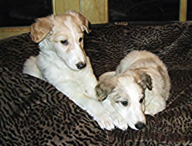 Two pups at Talisman Hounds , Sonnet and Argus
