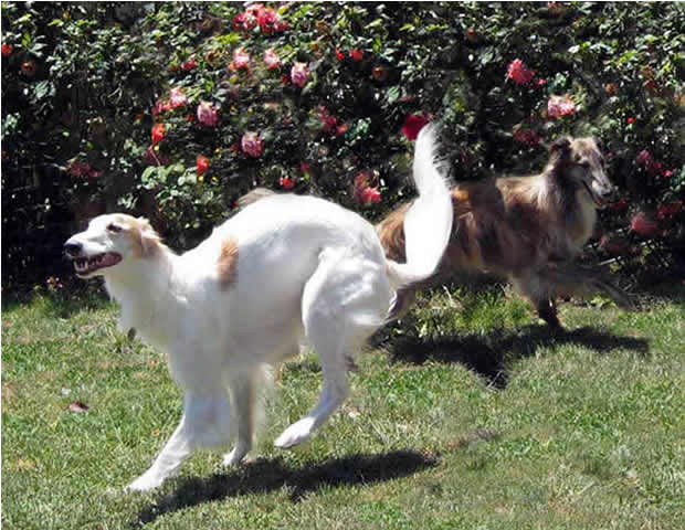 Caliban and Rhett, two Silken Windhounds play