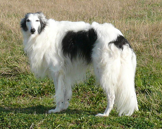 Dusty Silken Windhound