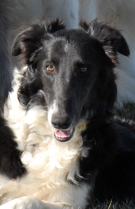 Caliban the Silken WIndhound, dog, Long Haired,Borzoi,Whippet