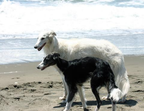 Gideon a Talisman Silken Windhound, and Violet, an Elessar Silken Widnhound, at the beach