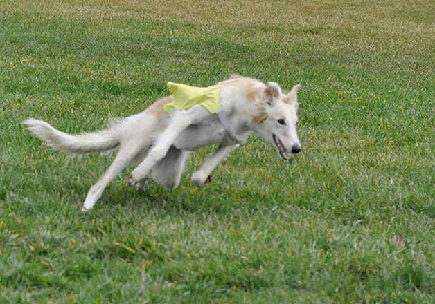 Silken WIndhound Lure Coursing