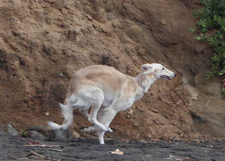 Silken Windhound running along the cliffs