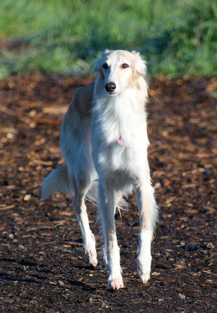 Maya the Silken WIndhound, dog, Long Haired,Borzoi,Whippet