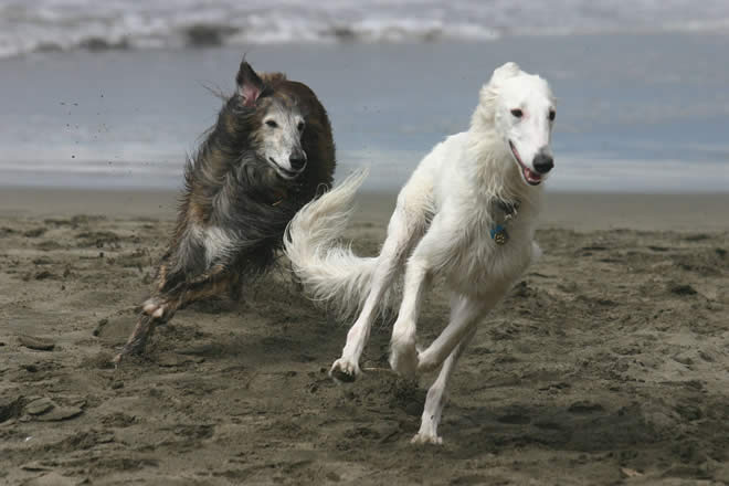 Ronan and Rhett, Silken Windhounds, at play on the beach on the California Coastline