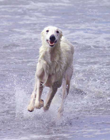 Ronan the Talisman Silken Windhound playing in the ocean waves off the coast of California