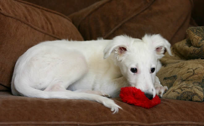 Ronan. a Talisman Silken Windhound, as a small puppy playing with his favorite squeeky toy