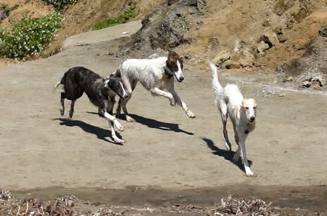 Sazi, Loki, and Dita, Talisman Silken WIndhounds playing on the beach of coastal California
