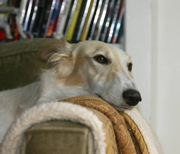 Sazi the Talisman Silken Windhound watches tv