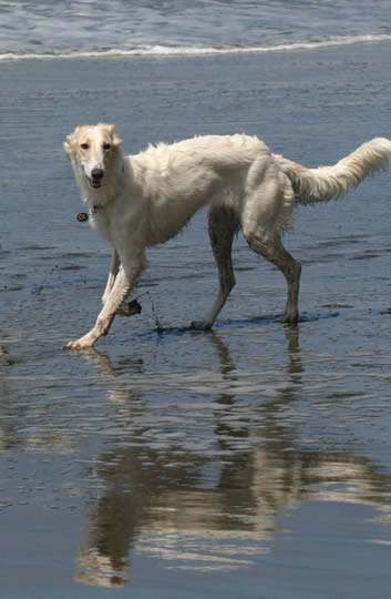 Sazi the Talisman Silken Windhound at play in the water