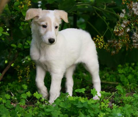 Sazi the Talisman Silken Windhound as a 5 week old puppy