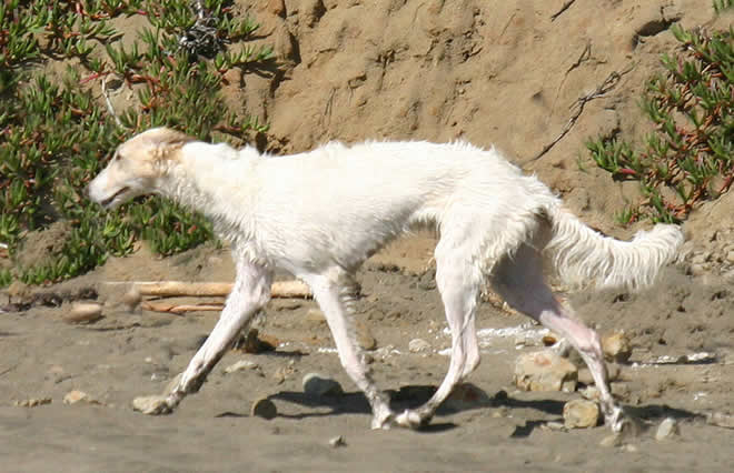 Sazi the Talisman Silken Windhound trots out on the beach