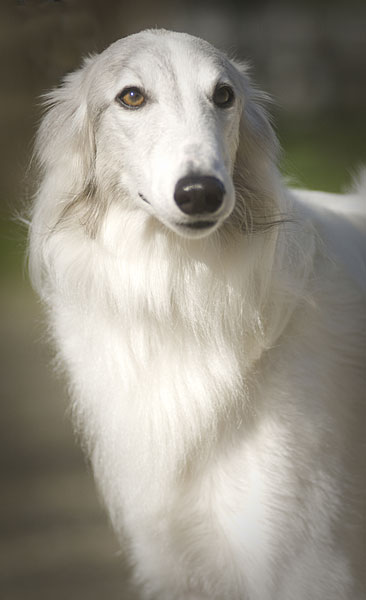 Sukiya the Silken WIndhound