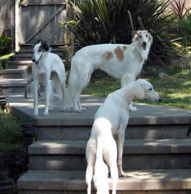 Cat and Caliban, Silken Windhounds,with Zaarhi the Saluki